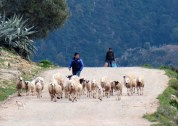 Tiny dog herding sheep.