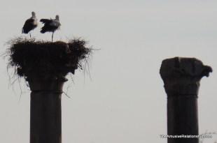 Nesting pair.