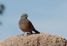 Desert fowl