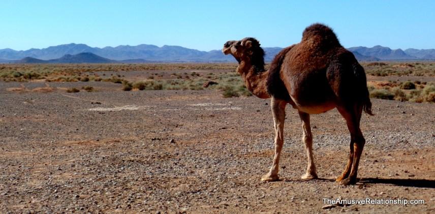 Contemplative camel
