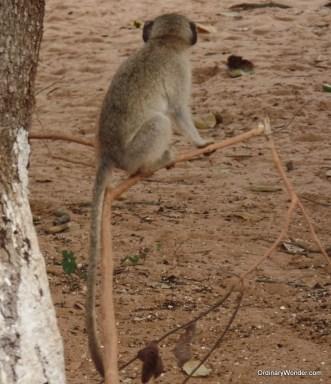Grey monkey