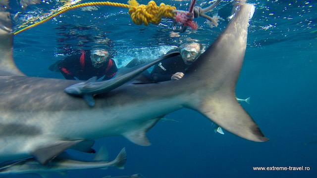 scufundari printre rechini