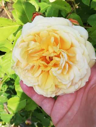 trandafir varna 4