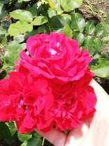 trandafir varna