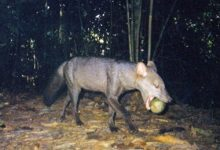 Amazonia ghost foxes are at stake rainforests may rob them