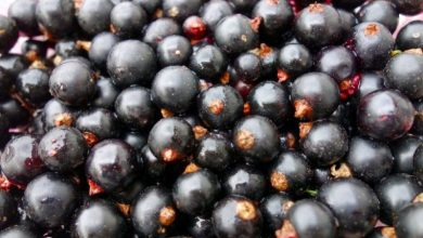 Photo of The most useful berry: prevent cancer and strengthen the heart