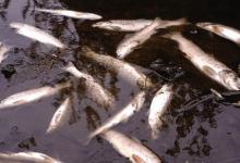 Fish die massively in California