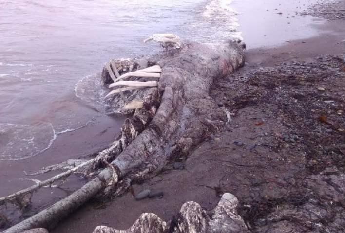 Sakhalin fishermen caught a dinosaur in the Pacific Ocean 2