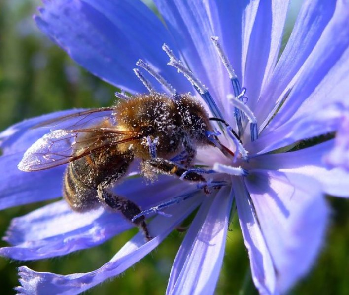 The bee is infatuated with chicory