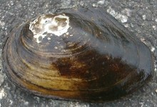 The giant mollusks in the Volga turned out to be from China