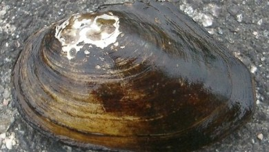 Photo of The giant mollusks in the Volga turned out to be from China