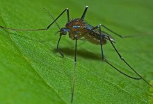 Photo of Scientists turn female mosquitoes into non-biting males