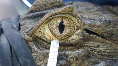 Photo of Crocodile tears were almost identical to human