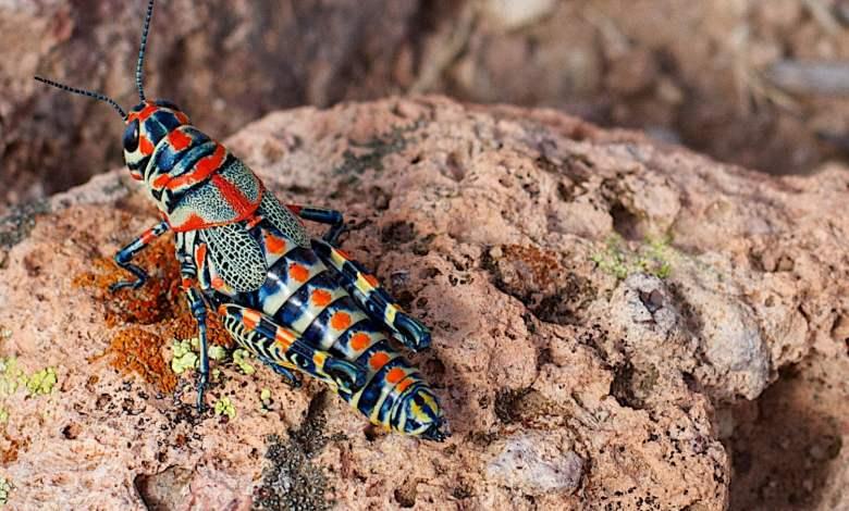 Who are the rainbow locust