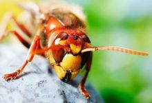 Photo of Deadly tropical hornets kill man in Spain