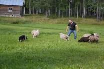 Gunnar Jonsson visar hur man delar en flock, det är omöjligt för den som inte kan. Får- och ulldagen.