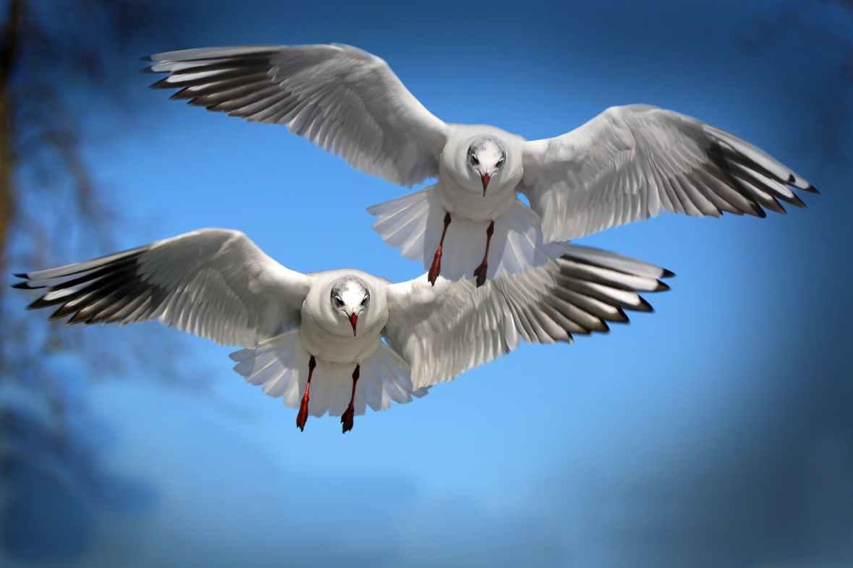 Black-headed Gulls flying