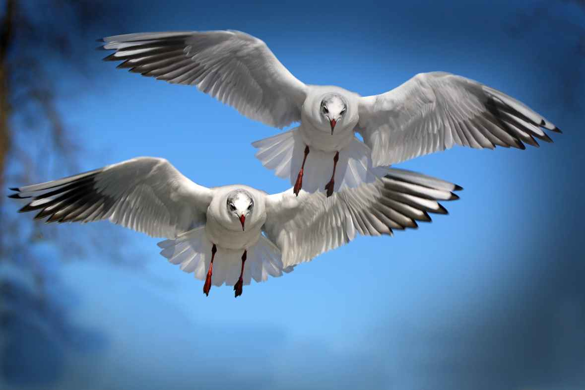 Black-headed Gulls flying