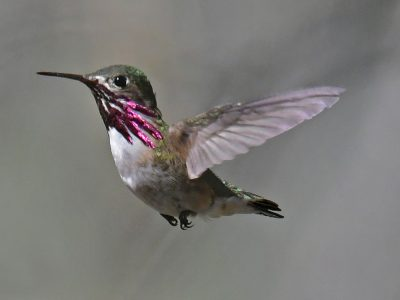 Calliope Hummingbird, photo by Alan Woods