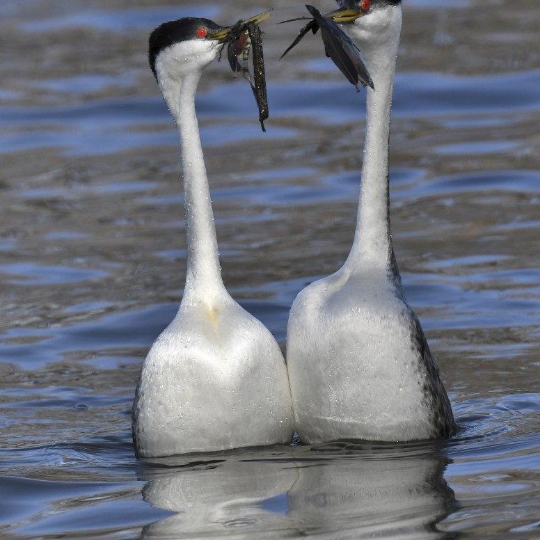 Western Grebes, Howard West