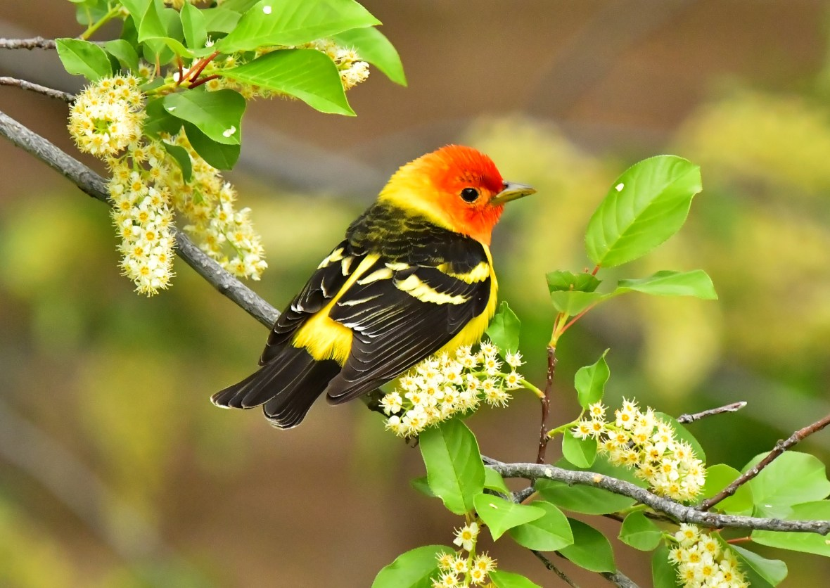 Western Tanager, photo by Karen Rush