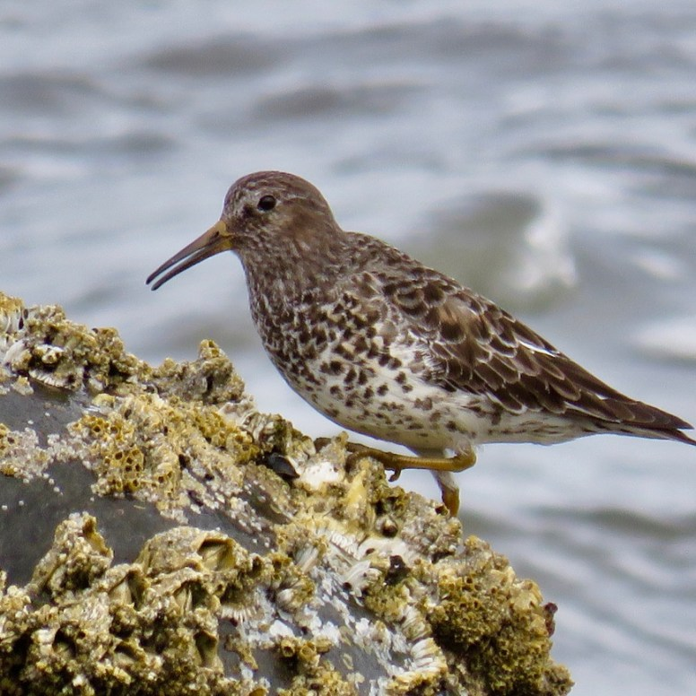 Rock Sandpiper, Molly Sultany