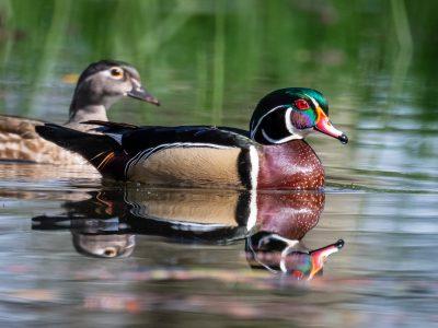 Wood Ducks, photo by Albert Ryckman