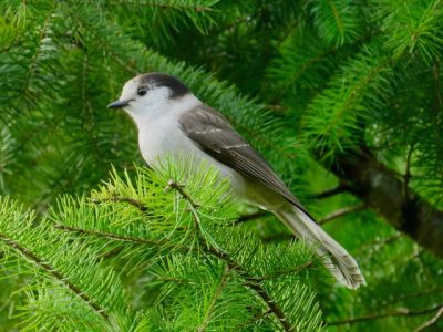 Canada Jay, photo by Molly Sultany