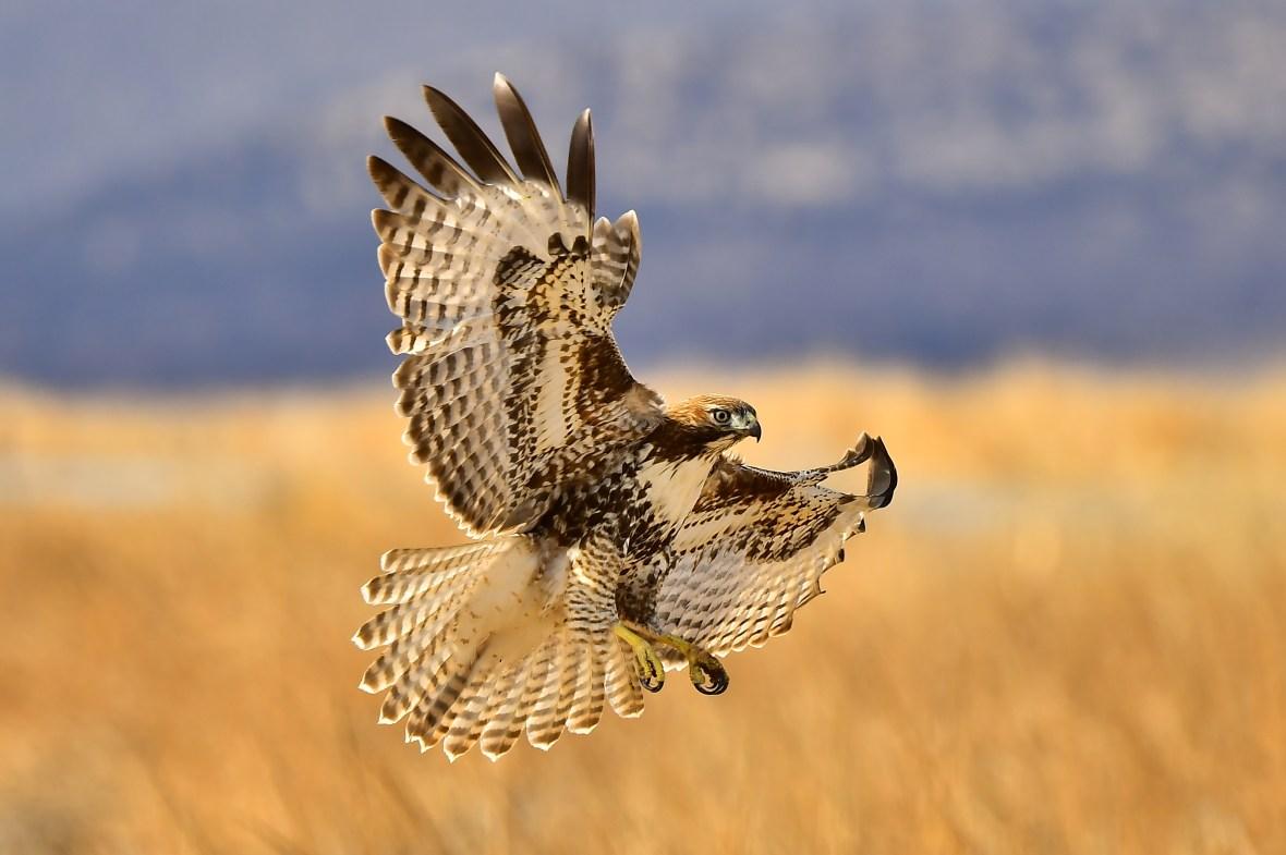 Red-Tailed Hawk, photo by Karen Rush