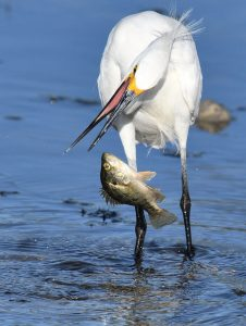 Snowy Egret in Klamath County, photo by Howard West