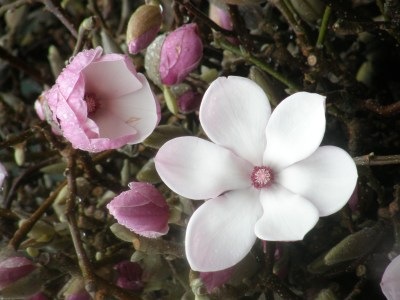 Blooming Cut Tulip Magnolia Branches