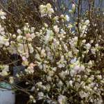 Blooming White Quince Branches