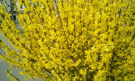 Blooming Forsythia Branches