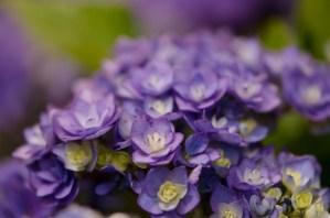 Double Blooming Purple Hydrangea