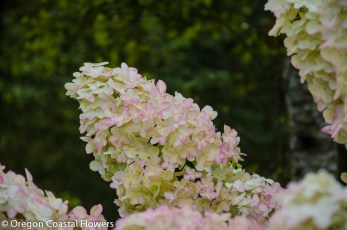 Conical Pee Gee Hydrangea