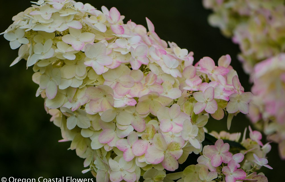 Ivory Colored Pee Gee Hydrangeas