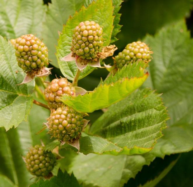 Thornless Blackberry Stems