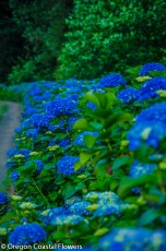 Deep Blue Fresh Hydrangea Wedding Flowers