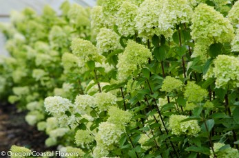 Delicate Lime Green Limelight Hydrangea