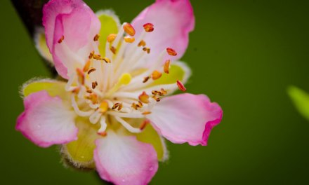 Pink Spring Blooming Peach Blossoms