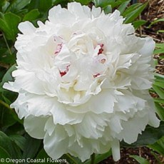 Festiva Maxima Peony Flowers