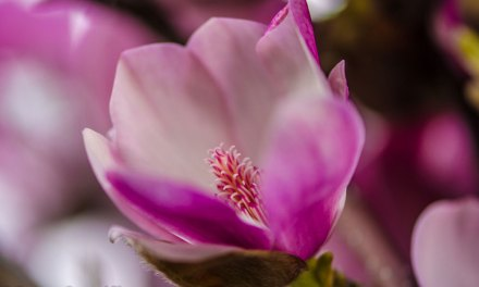 Japanese Magnolia Blooming Branches