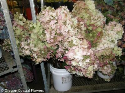 Fresh Antique Pee Gee Hydrangea