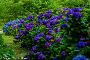 Fresh Deep Purple Hydrangea