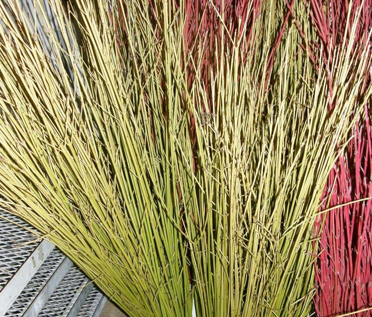 Yellow Dogwood Sticks