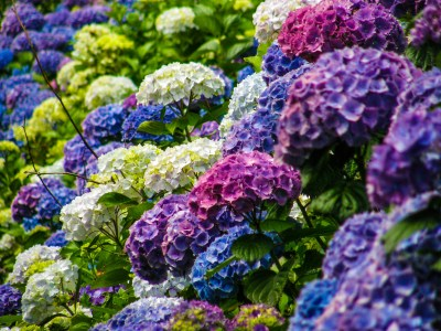 Purple, Blue, and Lavender Hydrangeas