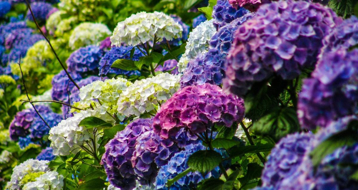 purple blue and lavender hydrangeas