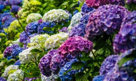 Purple, Blue, and Lavender Hydrangeas