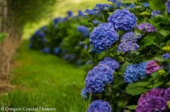 Fresh Periwinkle Hydrangeas