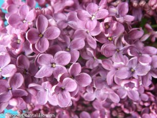 Fresh Purple Lilac
